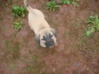 I have 2 , 8 week old Turkish Kangal puppies for sale.