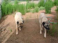 Purebred Turkish Kangal Puppies will be born around