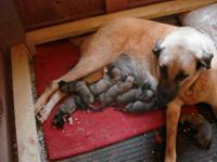 Purebred Turkish Kangal Puppies born Sept.4th,2015.Will