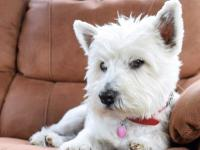 litter of west highland terrier puppy's ready to go to