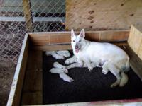 Lovely Purebred White German Shepherd young puppies for