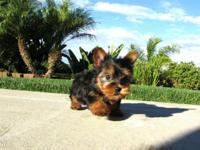 Our beautiful male and female Yorkie puppies are now