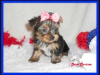 4 Purebred Yorkie (Yorkshire Terrier) Female Puppies!