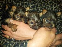 An armful of pure delight. Beautiful female puppies. 1