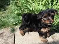 Purebred Yorkie puppies Male & Females They will come