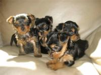 PUREBRED YORKIE PUPPIES re-homing with small adoption
