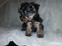 Purebred Yorkie Puppies 10 wks old and ready to go! We