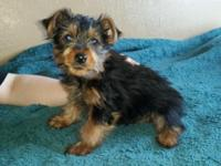 We have an adorable Purebred MaleYorkie puppy for sale.