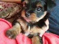 Cute purebred yorkie pups looking for their new homes!