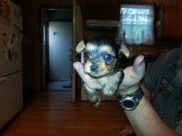 This is one of my purebred Yorkie Puppies! He was sold