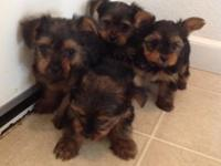 Purebred Parents are AKC registered Puppies will NOT