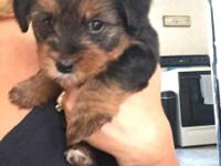 We have 2 purebred Yorkies for sale, 1 male and 1