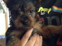 Lovable little black and tan male Yorkie, 4 months.