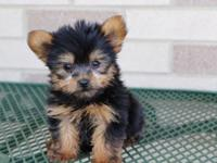 Purebred Yorkshire Terrier puppies available.ATTACH