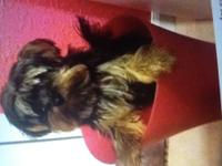 I have a male 4 month old Yorkshire terrier boy he has