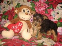 Cute Purebred Yorkshire Terrier (Yorkie) Puppies! * 9