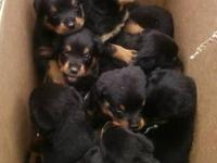 Purebred German Rottweiler Puppies for sale. Date of