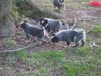 Our beautiful female blue heeler gave birth to 8