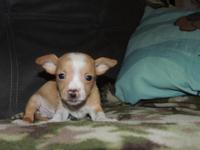 I have 3 male Chihuahua puppies that are looking for