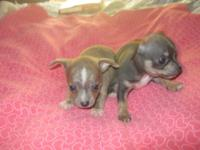 2 male Chihuahua puppies from AKC moms and dads, $450