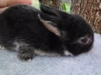 I have some purebred Holland Lop bunnies, with /