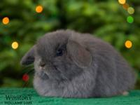 ***Purebred Bunny Rabbits For Sale*** Holland lops are