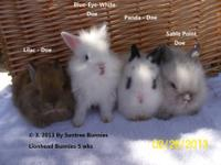 Purebred Lionhead Bunnies double maned (Dwarf size
