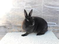 I have 3 Mini rex rabbits for sale.. They are purebred