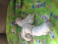 Male Maltese puppy available for adoption, by