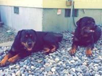 3 female and 2 male Rottweiler puppies left. Mother and