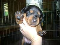 Purebred Rottweiler puppies. Born May 12,2012. They