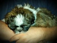 I have a purebred shih tzu puppy ready now. Beautiful