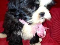 Purebred Shih Tzu Puppies. Ready to go to their forever