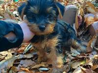 I have male teacup size females Teacup Yorkie