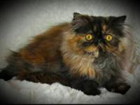 I have a purebred beautiful tortie persian kittycat.