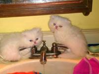 I have a purebred female all white persian kitten. She