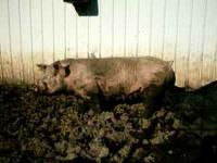 (2) purebred York young sows. Had 1 litter each. Have