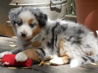 Stunning blue merle with tan factors. This is a women