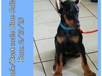 Doberman Puppies Purebred They will come with full akc