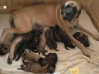 Pure breed English Mastiff puppies, AKC registered.