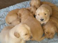 Purebred Golden Retriever puppies. Born Feb 9th- ready