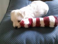 For sale 2 purebred male Maltese pups. Will be ready to