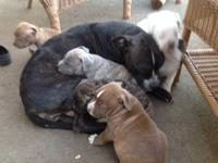 Pitbull pups for sale. Ready on 11/4. Dewormed and