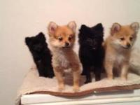 I have 4 Pomeranian Puppies left, 2 black and 2 red