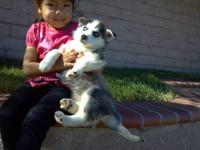 purebreed siberian husky puppies $550 i have 3 male
