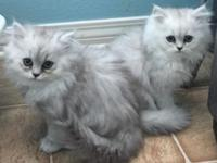 I have 2 8-weeks old chinchilla persian kittens Will
