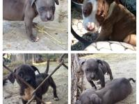 Pocket pits !!! Show dogs 6weeks to 9 month old UKC