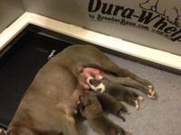 Purple Ribbon UKC Razorsedge American Pitbull Terrier