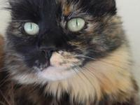 Purrcey's story Purrcey is a gorgeous, longhair