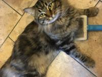Purrcy is a handsome brown-tabby Maine Coon mix fellow,
